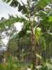 Banana tree in fruit